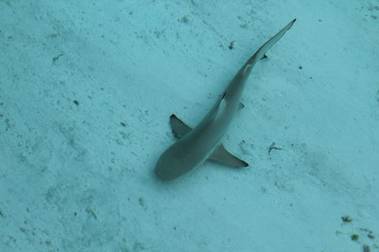 Baby Shark - Cubmed Kani Maldives