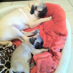 StyleSociety Pugs - Zeus and Zara