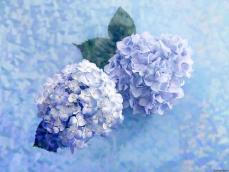 Soft and frilly hydrangeas