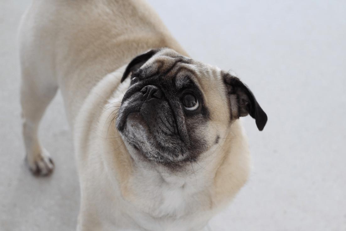 StyleSociety Pugs - Zeus